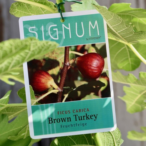 FICUS FEIGE FRUCHTFEIGE BROWN TURKEY Topf 10 l Signum