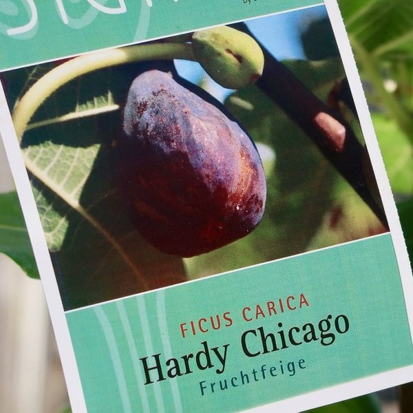 FICUS FEIGE FRUCHTFEIGE HARDY CHICAGO Topf 10 l Signum